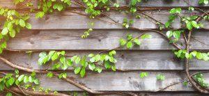 Les vignes, cette espèce de plantes jolies qui sont de formidables ajouts à un jardin bien aménagé par un paysagiste
